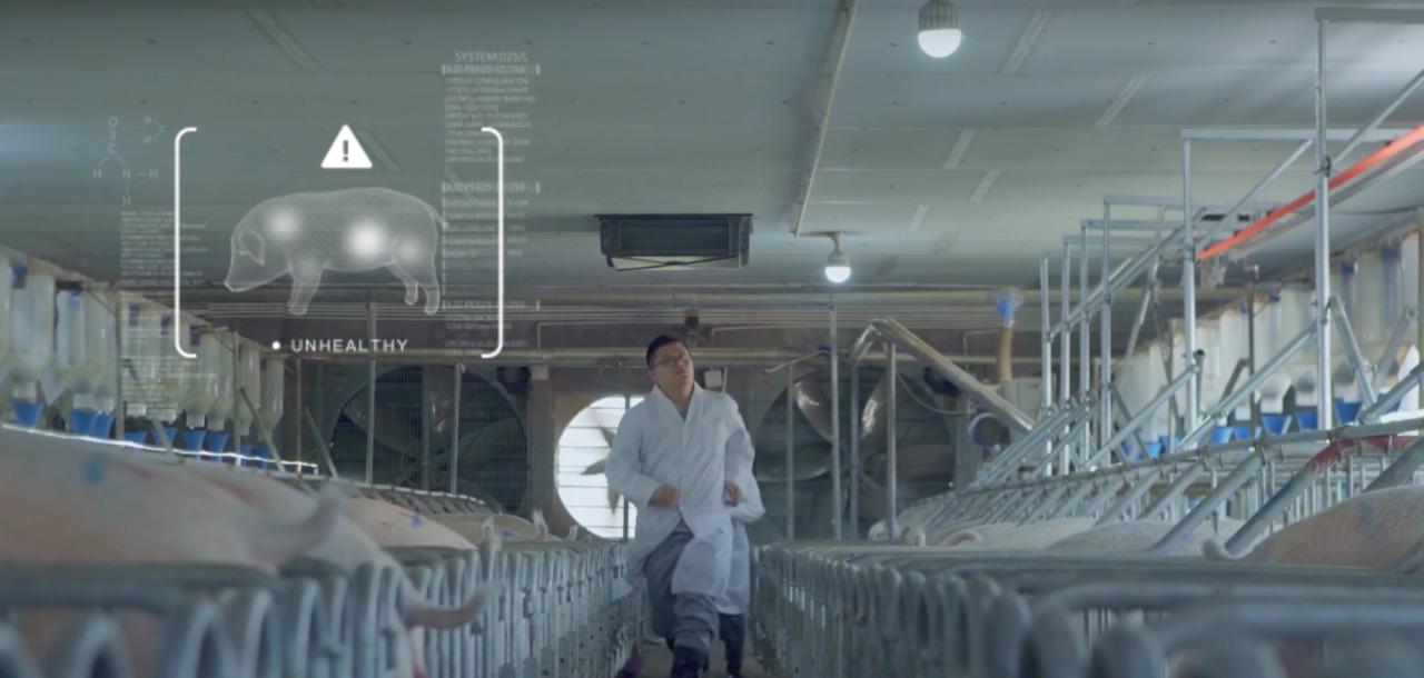 China sigue innovando con el reconocimiento facial, ahora para cerdos